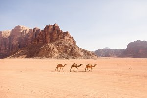 Three Camels in the Middle East