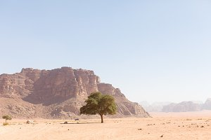 Wadi Rum Fig Tree