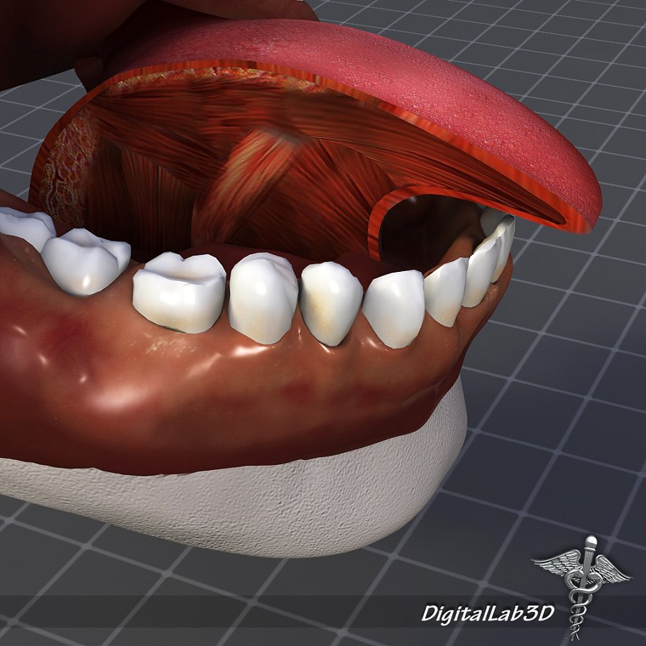 Human Tongue Anatomy People Models Creative Market