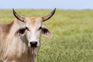 The Brahman or Brahma Cattle