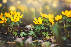 Wild yellow buttercup  flowers
