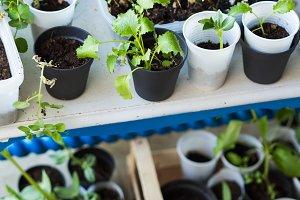 Home garden plants in plastic glasse