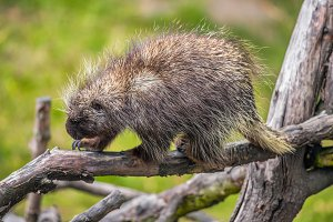 North American porcupine on a branch