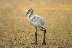 Baby bird of the American flamingo