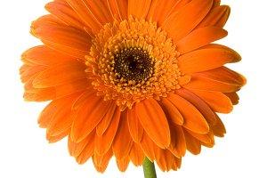 Orange Flower Vertical 1