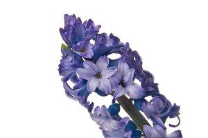 Purple Hibiscus Flower Vertical 1