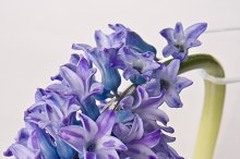 Purple Hibiscus Flower on Vase Photo