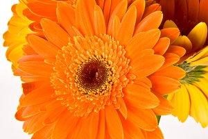 Orange Gerbera Flowers Vertical 4
