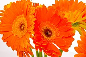 Orange Gerbera Flowers Photo
