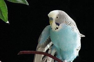Stretching Blue Budgie Pet Bird