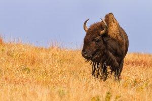 Majestic American Buffalo