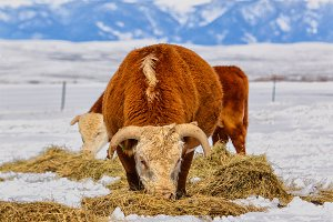 Hereford Cattle - Vertical