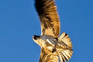 Osprey in Flight - Bird Photo
