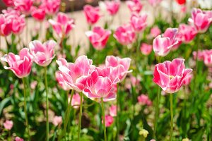 Pink tulips. Beautiful nature backgr