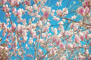 Branch of magnolia soulangeana with