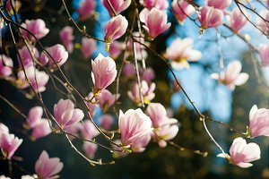 blooming magnolia soulangeana tree w