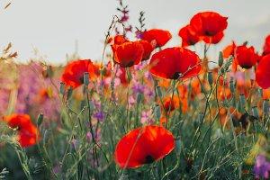 Fresh Poppy Field