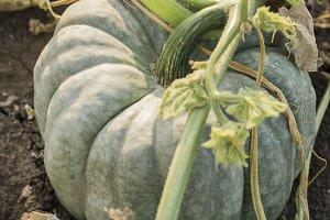 green heirloom pumpkin