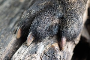 The huge paw of the animal