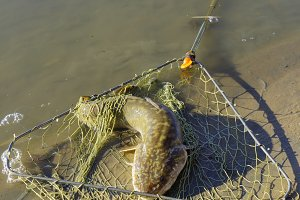 Caught burbot in the fishing nets