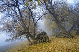 Mystical fantastic picture-creeping in a fog old curve trees