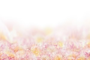 Pink roses petal background