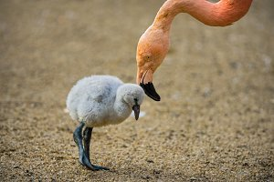 Baby bird of the American flamingo with its mother.