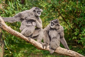 Family of silvery gibbons  with a newborn