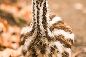 Baby Australian Emu