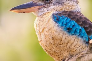 Portrait of male blue-winged kookaburra