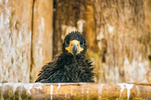 Steller's sea eagle young chick
