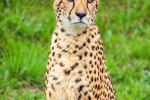 Portrait of cheetah