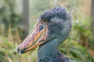 Portrait of shoebill
