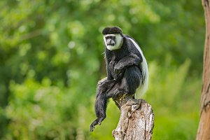 Mantled guereza also known as Colobus guereza