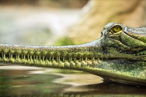 Gharial, also knows as the gavial