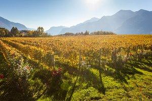 Trentino vineyards in autumn against Alps