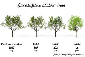 Eucalyptus crebra tree