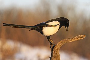 Eurasian magpie sitting on a dry branch