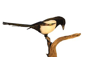 magpie sitting on a dry branch isolated on white