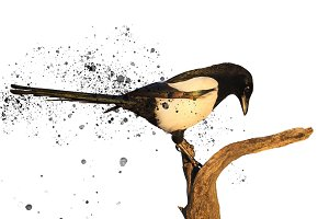 magpie isolated on white and splashes