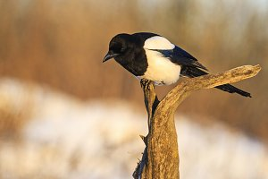 beautiful black and white bird sitting on the branch