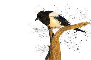 Eurasian magpie on a white background and spray