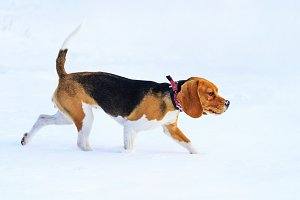 Beagle runs along the snow along the trail