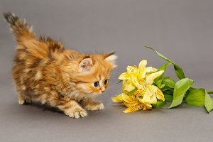 Kitten and Alstroemeria flower