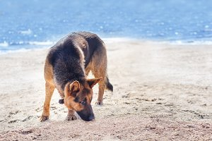 German Shepherd on the beach