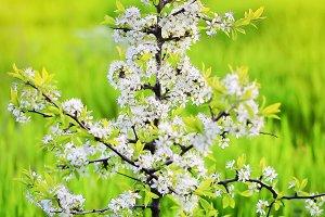 Spring. Small tree closeup blossoms