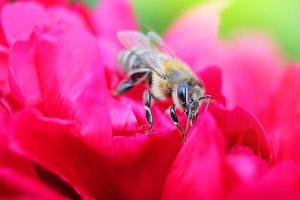 Bee on flower red peony
