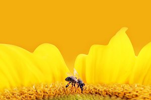 Bee collecting pollen from sunflower