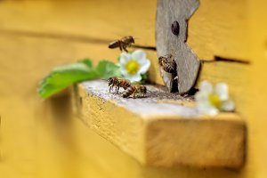 Bees fly in hive