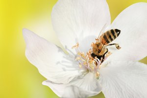 Bee close-up collects nectar